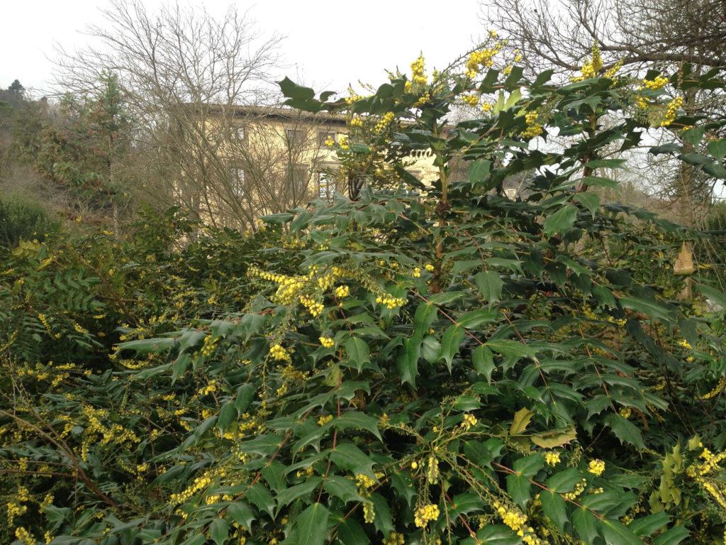 Arbusto A Fiori Gialli mahonia (berberidaceae) - villabernardini