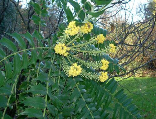 mahonia lomariifolia