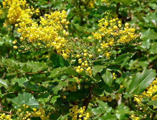 Fiori Gialli Profumati.Mahonia Berberidaceae Villabernardini